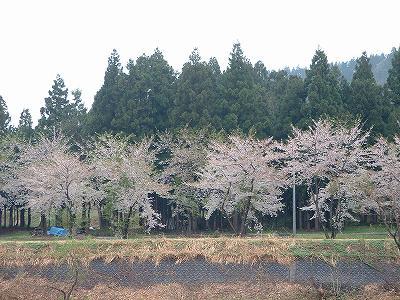 風と雨で散ってしまった新潟県水無川の桜