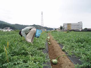 八色産スイカの摘果作業