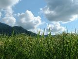 魚沼産コシヒカリの稲穂