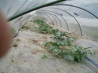 八色産スイカはビニールトンネルの中で順調に育っています