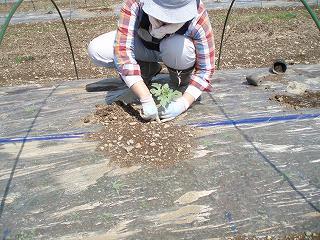 八色産スイカの定植作業