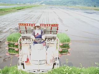 気温が低い中での魚沼産コシヒカリの田植え作業