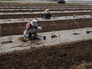 八色産スイカの苗の定植作業