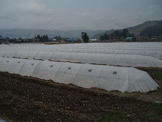 寒さと風から守るためにスイカの苗を定植したらビニールトンネルをかぶせます