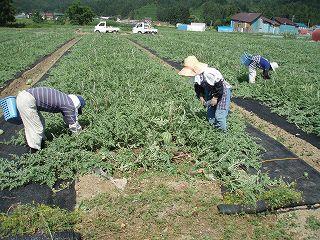 八色産スイカの畑での農作業