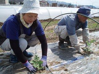 八色産スイカの定植作業を行っています