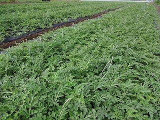 八色産スイカの畑