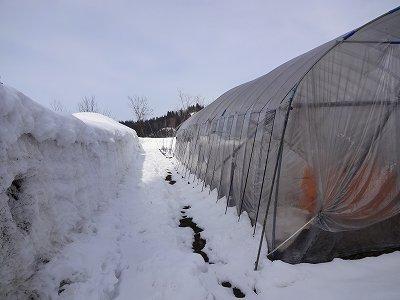 除雪機で雪を飛ばした場所にビニールハウスを建てました